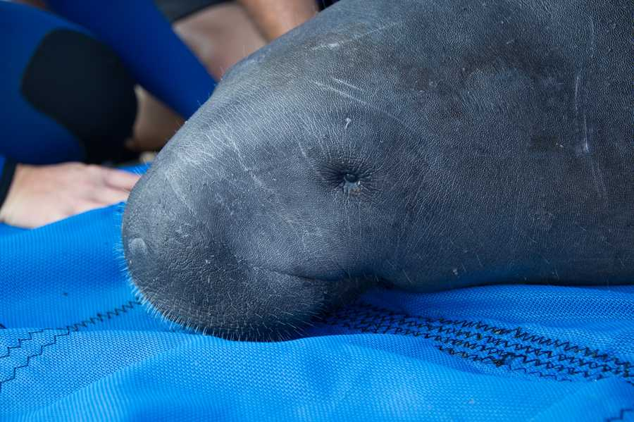 An adult male manatee brought to SeaWorld Orlando on Saturday, Aug. 31, by Florida Fish and Wildlife Conservation Commission continues to recover and receive care for its watercraft injuries. The manatee was found in the Tomoka River near Daytona Beach, Fla.