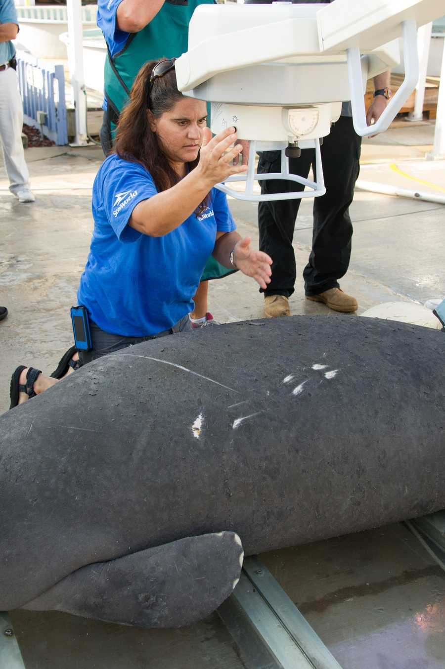 The SeaWorld Animal Rescue Team continues to care for an injured manatee transported to SeaWorld this past Saturday, August 31. Today, animal care experts took radiographs of the adult male manatee's chest cavity to see if there were internal injuries to the spine and chest after he received watercraft injuries. The manatee is in guarded condition and will be monitored closely during the next few days.