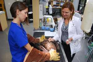 Bald eagle is recovering from injuries received by a pellet gun on Sept. 4.