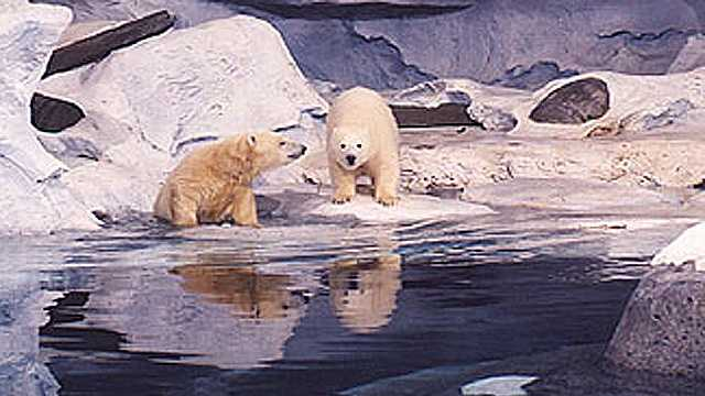 A 1995 photo of Klondike and sister Snow from SeaWorld's then Wild Arctic attraction.