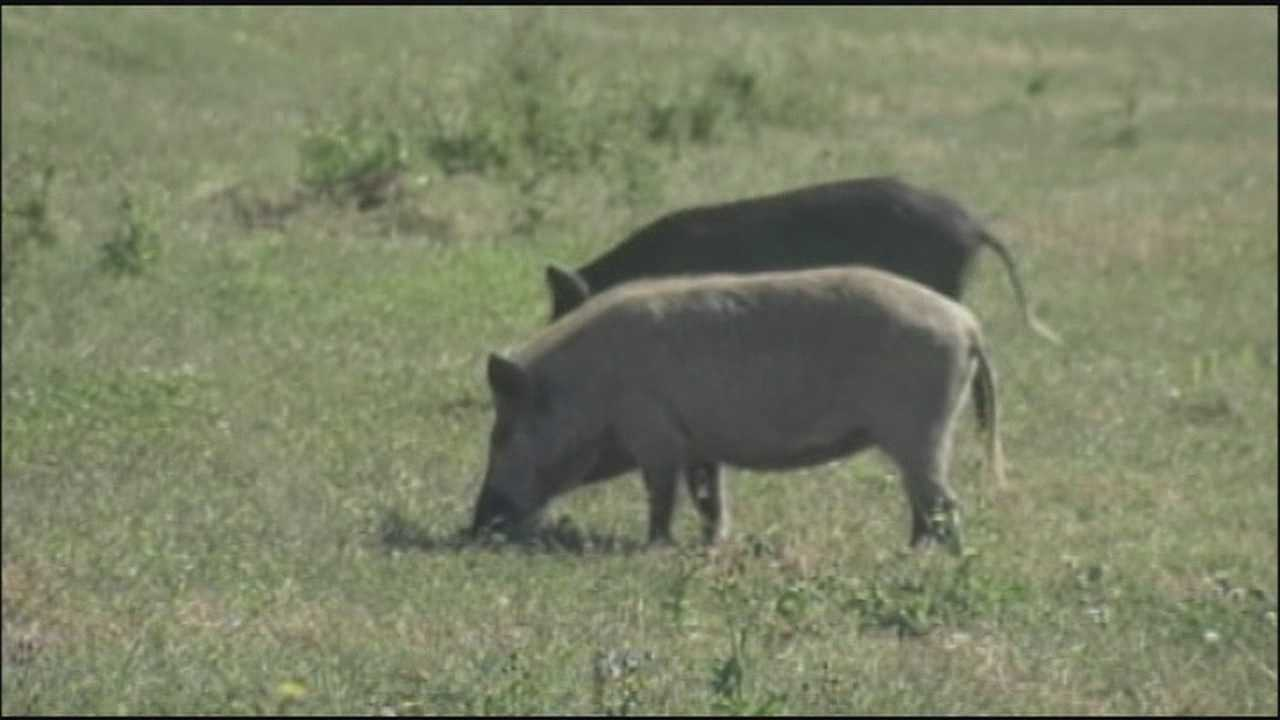 Wildlife refuge may declare open season on hogs that are hogging up the space.