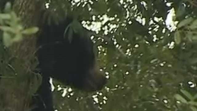 Passersby spot a bear in a tree next to East Semoran Boulevard in Apopka.