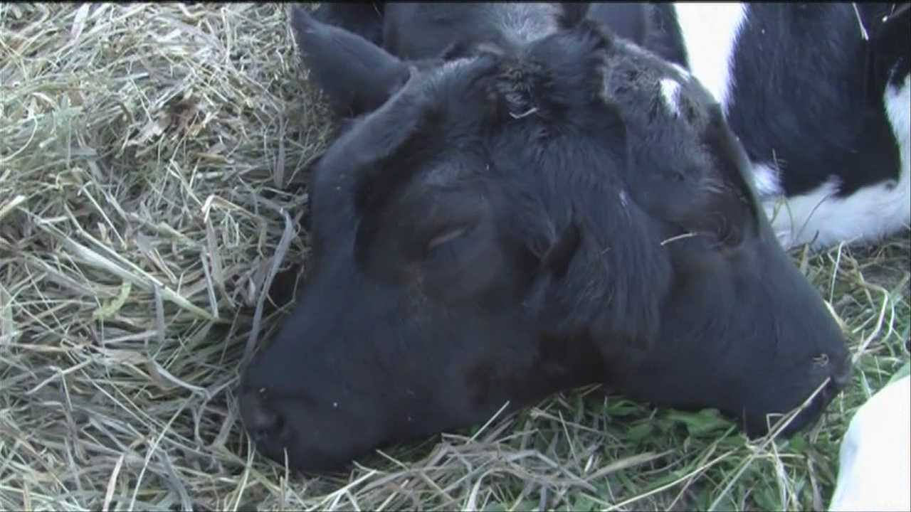 A Whiting, Vt., cow delivered a calf Wednesday with one body and two heads. The calf is doing well.