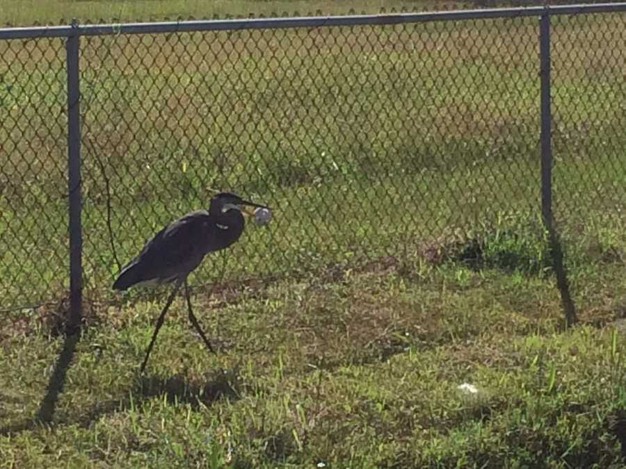 A heron was spotted outside the WESH 2 studios Thursday with a wiffle ball stuck on its beak.