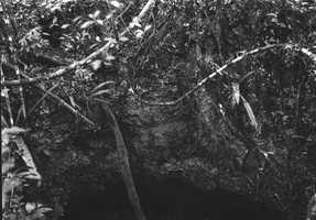 A dryopteris reptans on the wall of a limestone sinkhole in 1916.