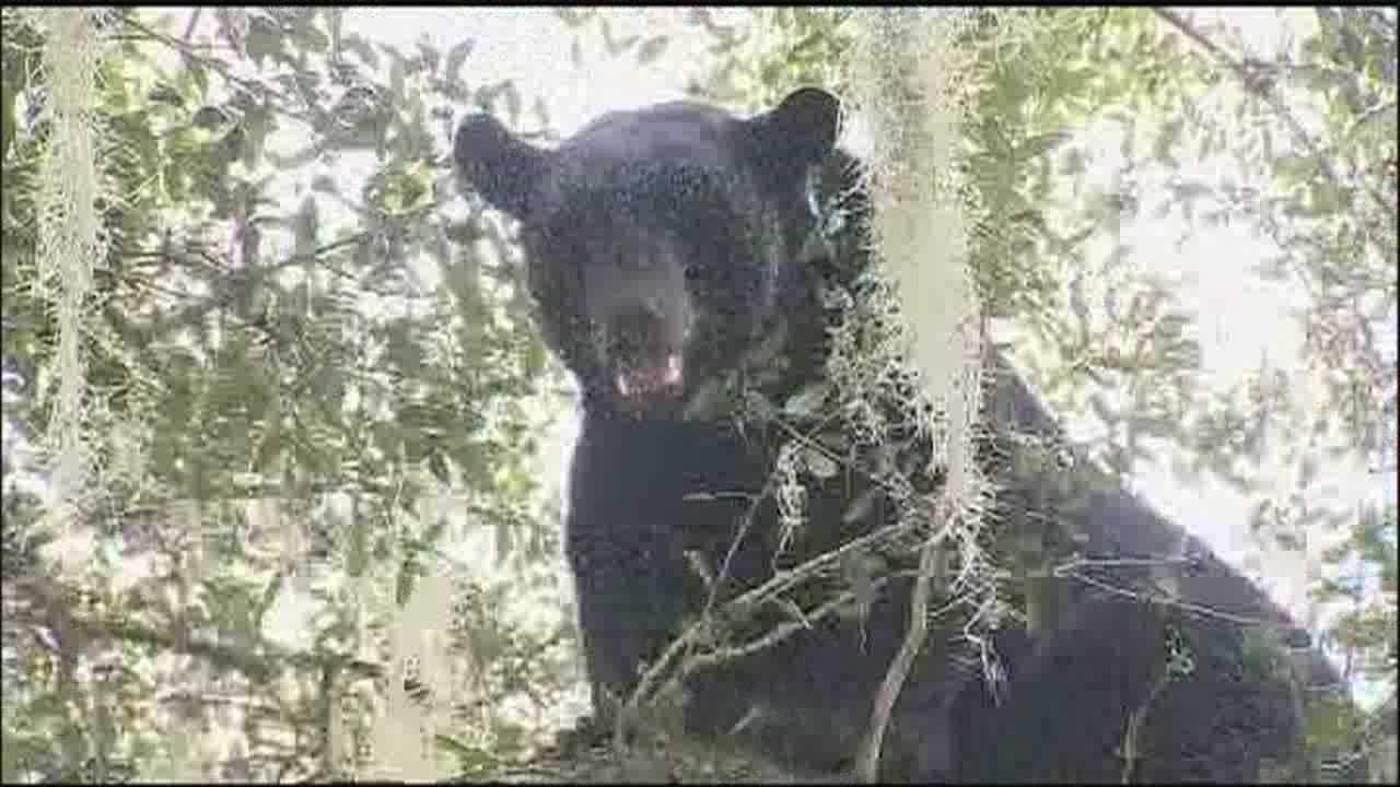 Bear hangs out in tree next to dentist's office