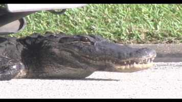 A Brevard County man found a scary, jaw-snapping guest outside his house Wednesday morning.