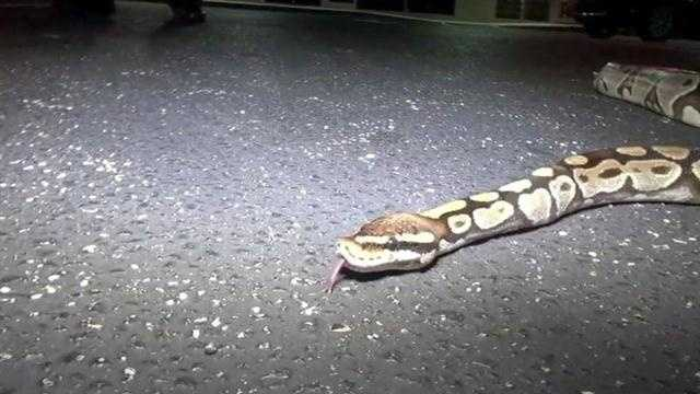A four-foot python was spotted Thursday on the loose in the middle of a West Melbourne parking lot.