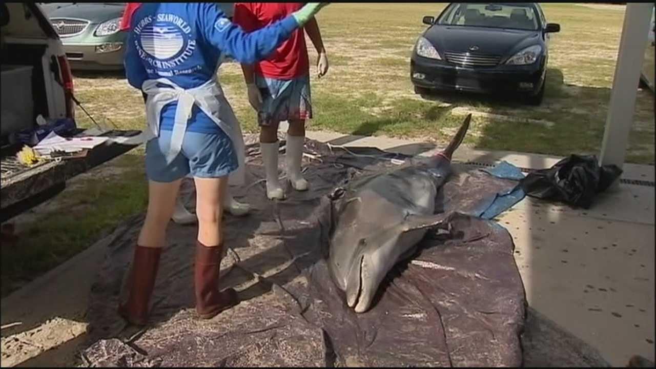Morbillivirus causesv more dolphin deaths