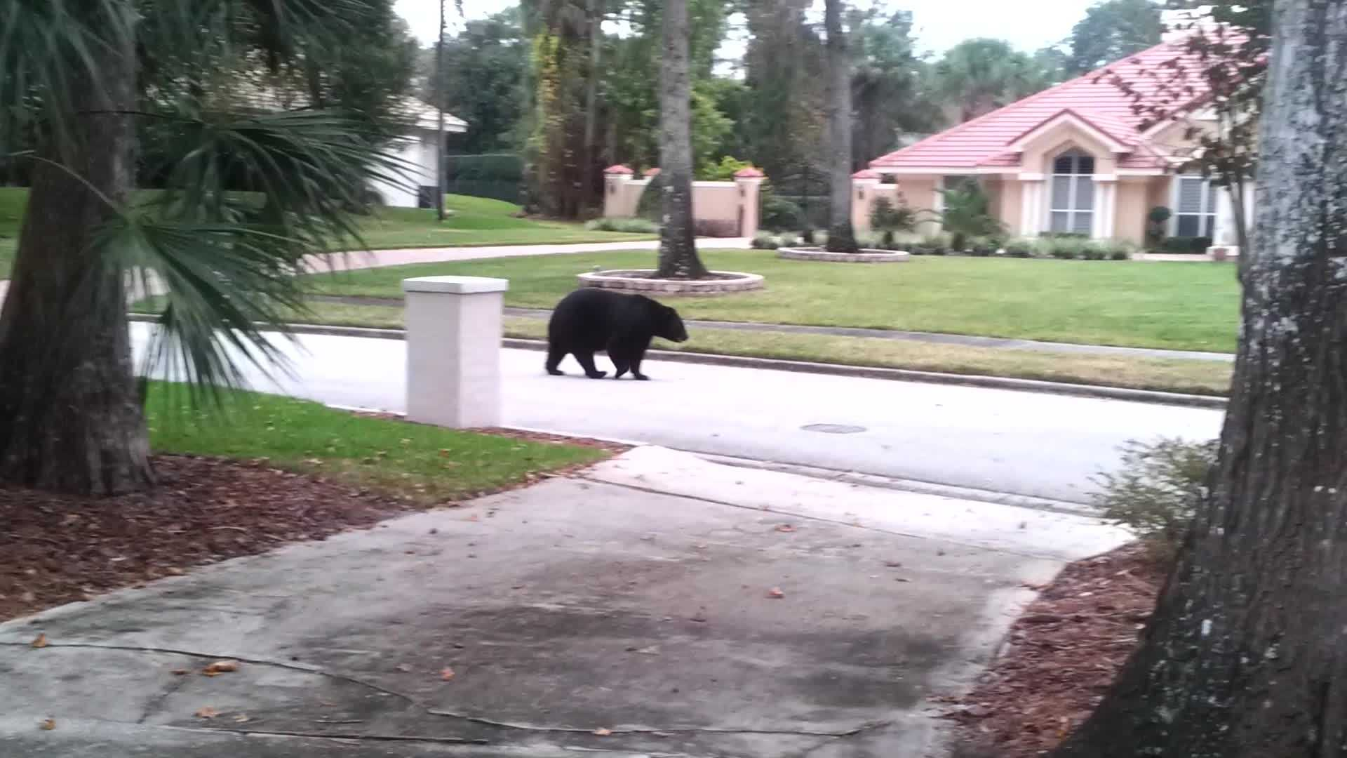 A large black bear was spotted in a Longwood neighborhood on Monday evening.