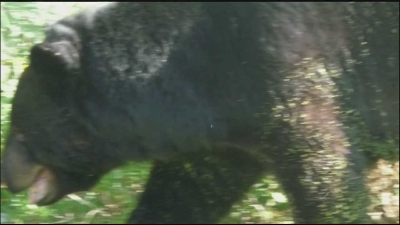 Following a bear attack in Longwood on Monday, a nearby resident says she thinks the same bear chased her.