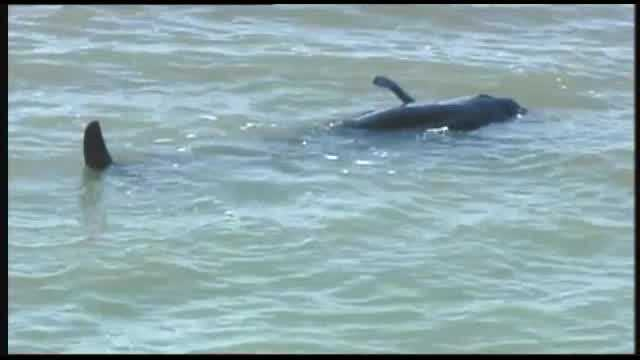Raw video: 30 pilot whales stranded in Everglades National Park