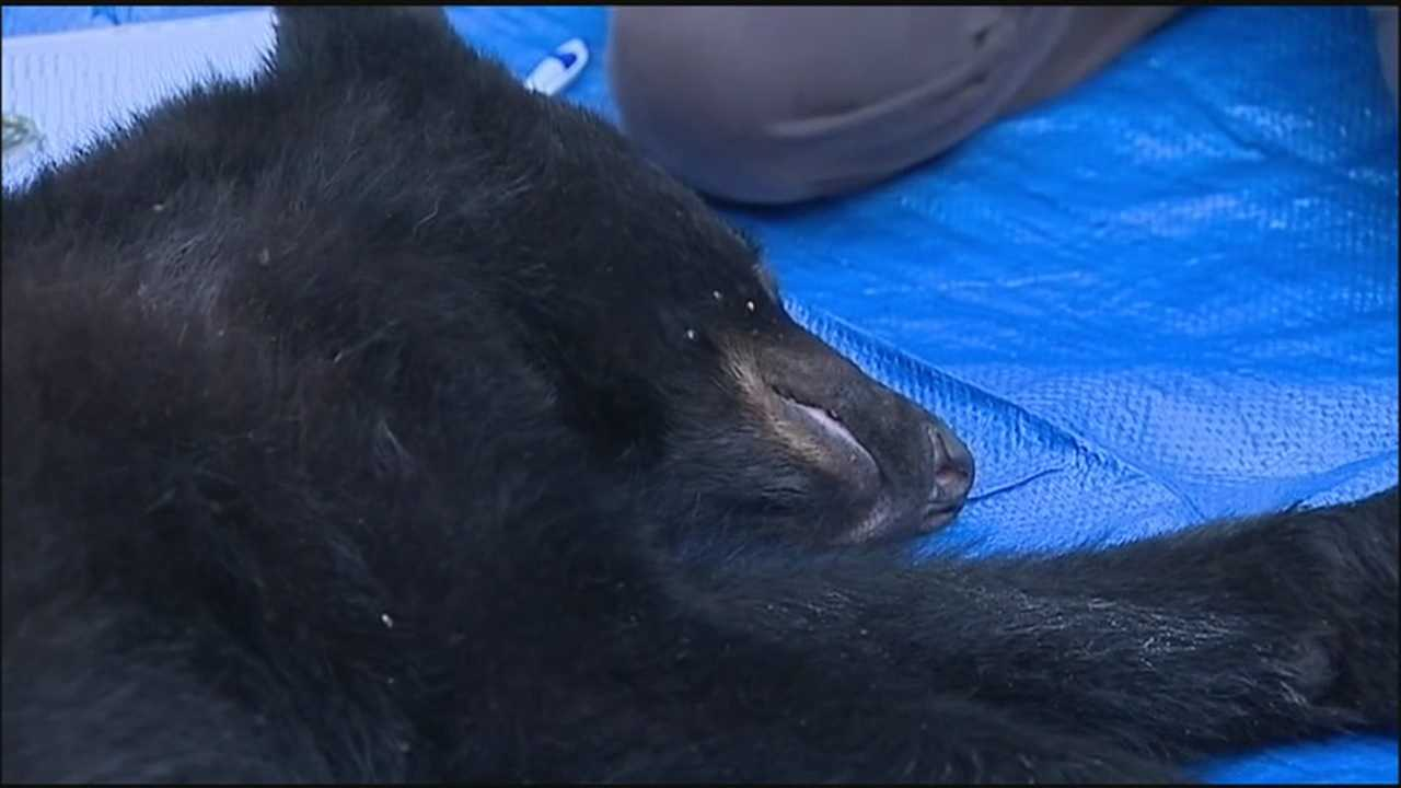 A young bear was caught in a trap close to where a local woman was attacked.