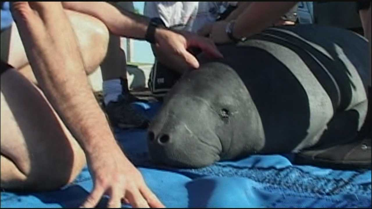 A manatee named Dorothy Gale swam off in good health a short time ago in Titusville after being rescued and rehabilitated.