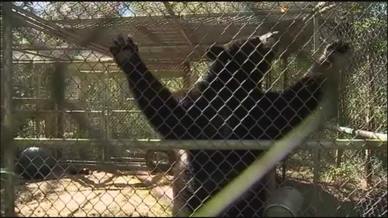 Activists upset over bear euthanizing following attack on local woman