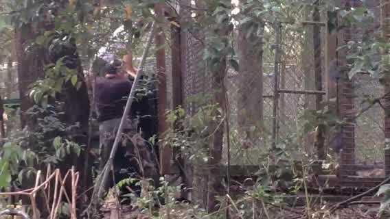 Three bears captured in Longwood after a woman was attacked have been moved to a rehabilitation facility and placed in a cage. Two other bears have been euthanized.