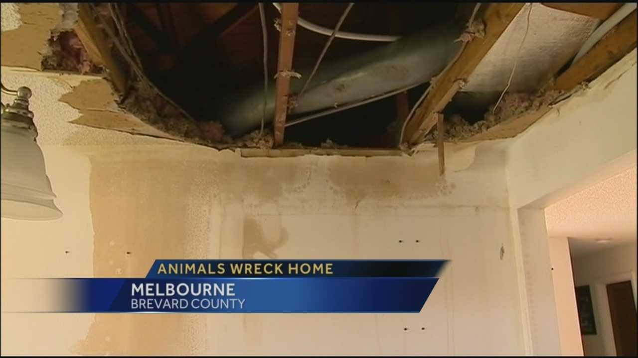 Rodents destroy home in Melbourne