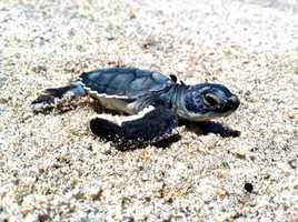At Disney's Vero Beach Resort, thousands of baby sea turtles were born.