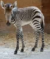 At Disney's Animal Kingdom Lodge, this Hartmann's mountain zebra was born.