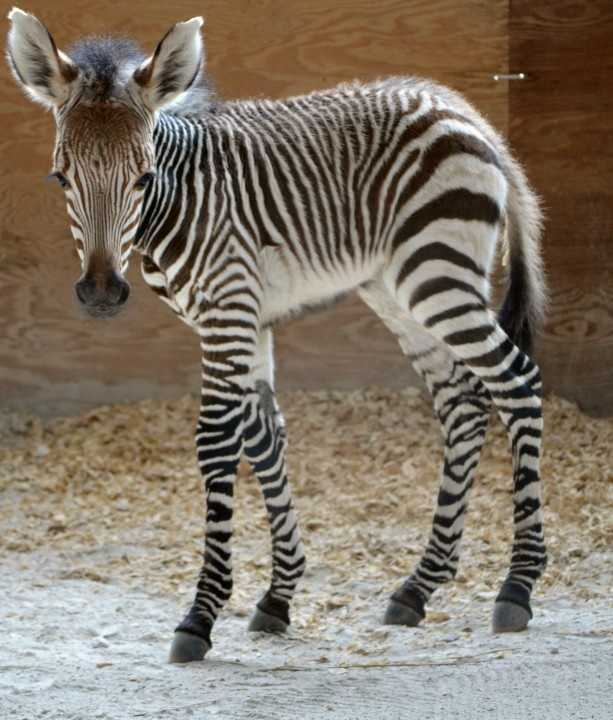 At Disney's Animal Kingdom Lodge, this Hartmann's mountain zebra was born.