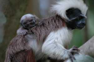 This cotton-top tamarin was born in Colombia. Proyecto Titi, a conservation organization with support from Disney, reported the birth.