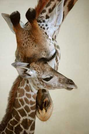 And don't forget about Mosi, the first Masai giraffe calf born at Disney's Animal Kingdom.