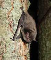 Indiana bat - ENDANGERED