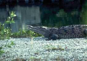 American crocodile - THREATENED