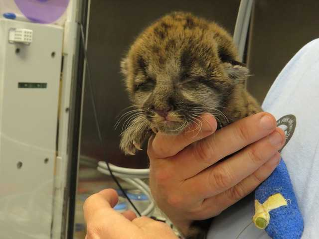 A 1-week-old panther kitten was found abandoned in Collier County in mid-January. The kitten is undergoing 24-hour care.