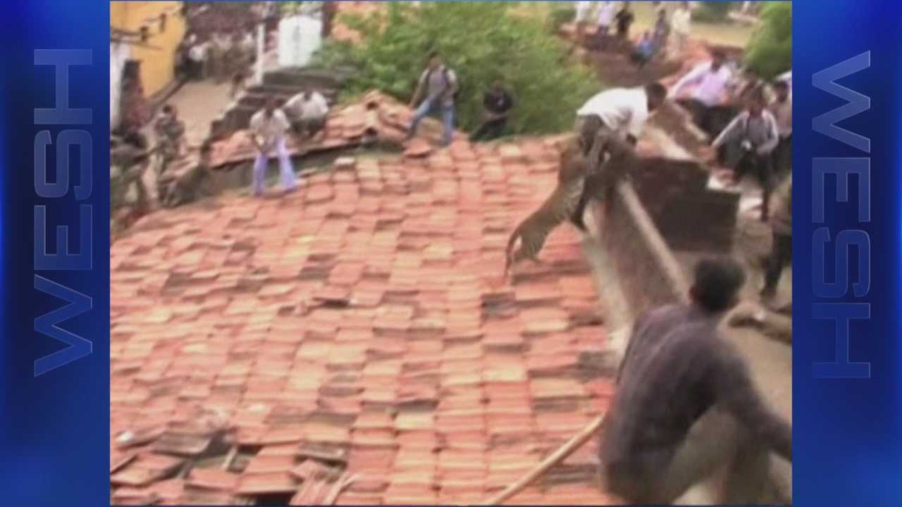 A leopard found in the roof of a building in Ballarpur, Maharashtra, terrorizes villagers.