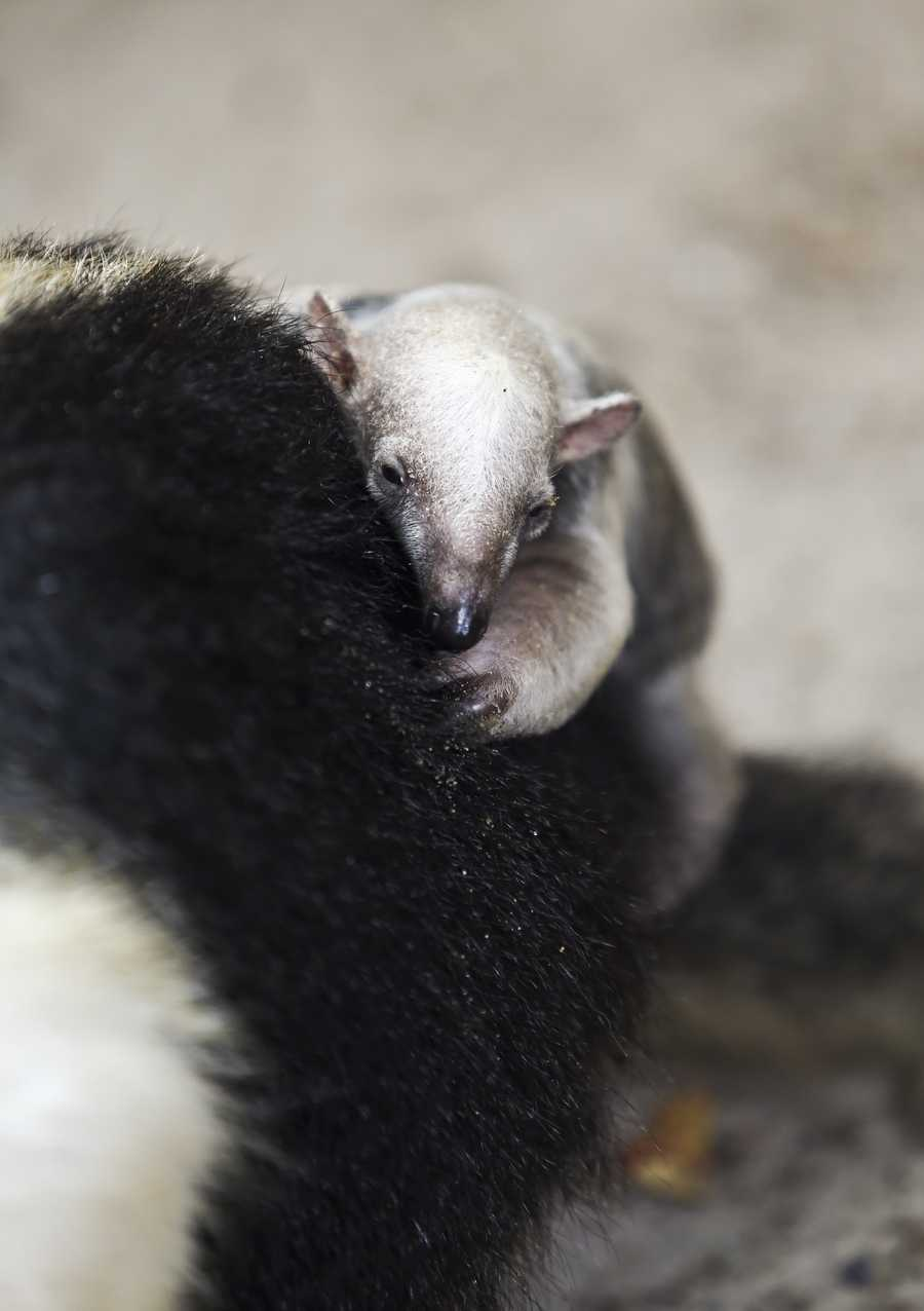 Tamanduas, or lesser anteaters, are native to Central and South America.