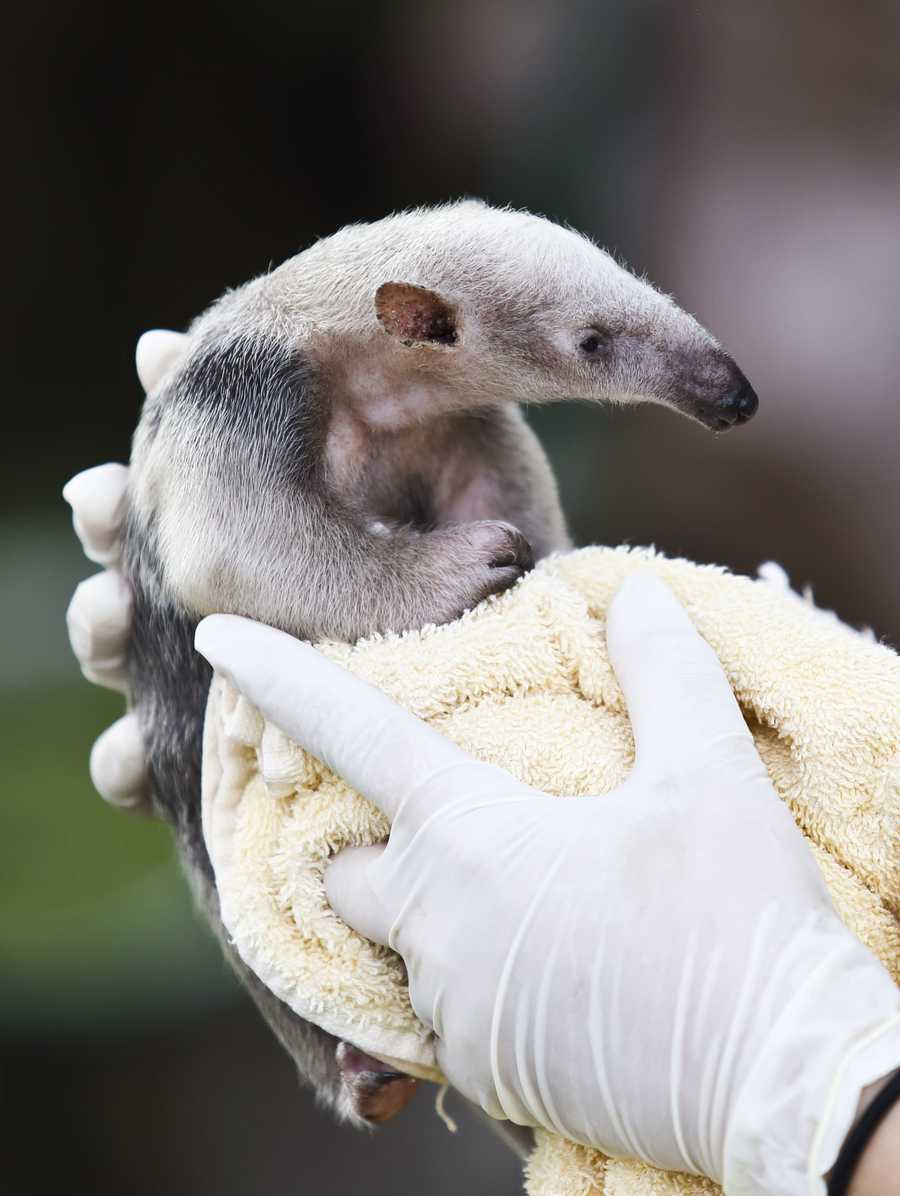 The South Tamandua pup was born at the park on April 13.