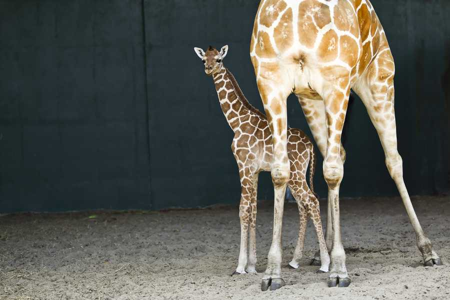 Busch Gardens has a baby boom on its hands. In the last two months, three reticulated giraffes have been born at the park. Celina gave birth to her unnamed female calf on March 18. The calf is behind-the-scenes but will join the others on Busch Gardens' Serengeti Plain in the coming weeks.