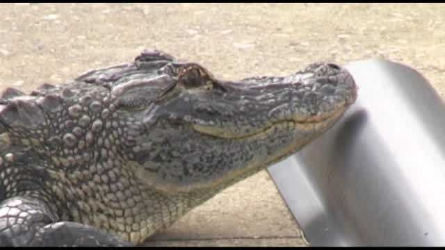 A Merritt Island family woke up to a small alligator in their backyard Thursday.