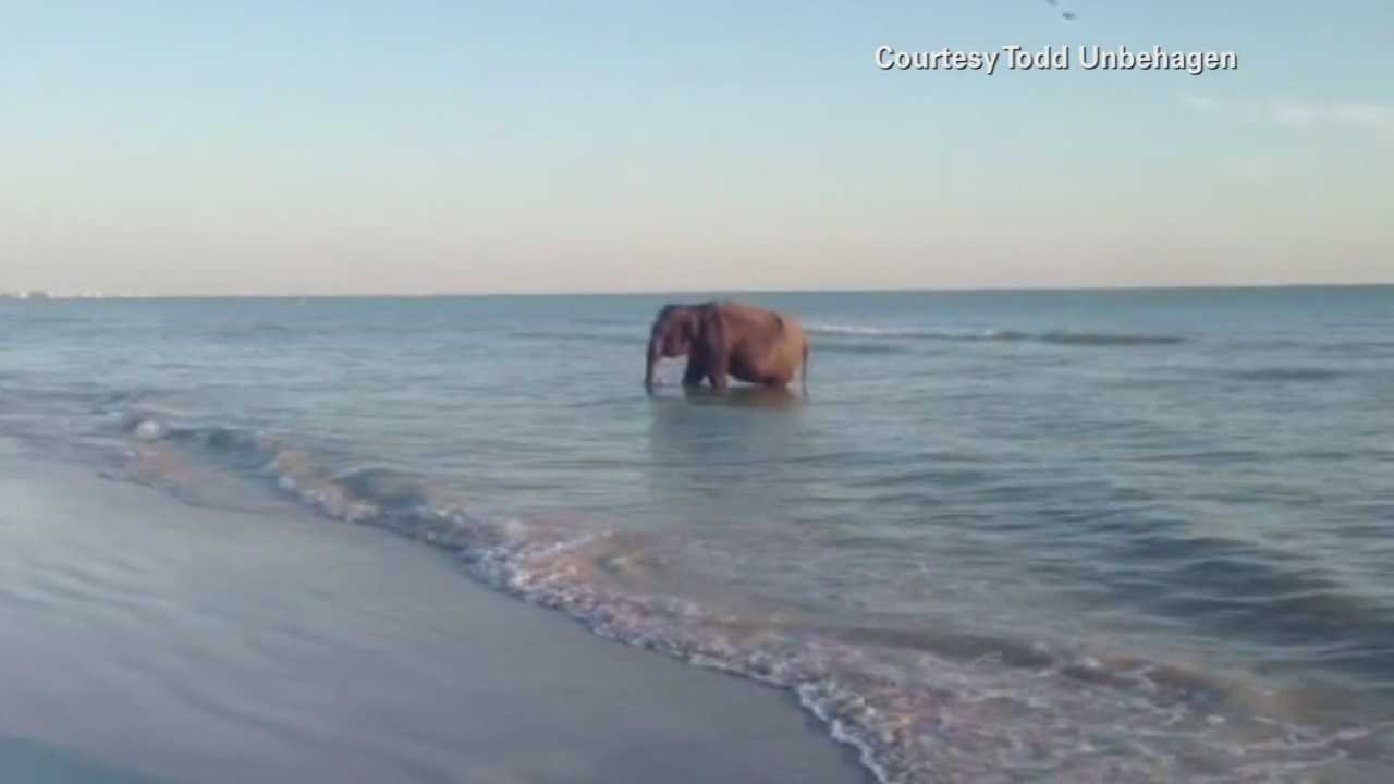 A large elephant was spotted quenching its thirst in the ocean off Pinellas County. Witnesses said they believe the elephant was part of a beach birthday party when it broke away and got into the water.