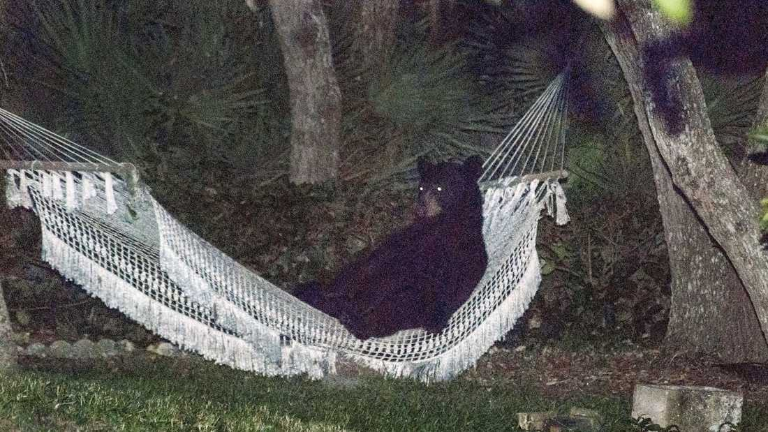 After knocking over trash cans and scaring the residents of a Daytona Beach neighborhood Thursday, this black bear needed a rest.