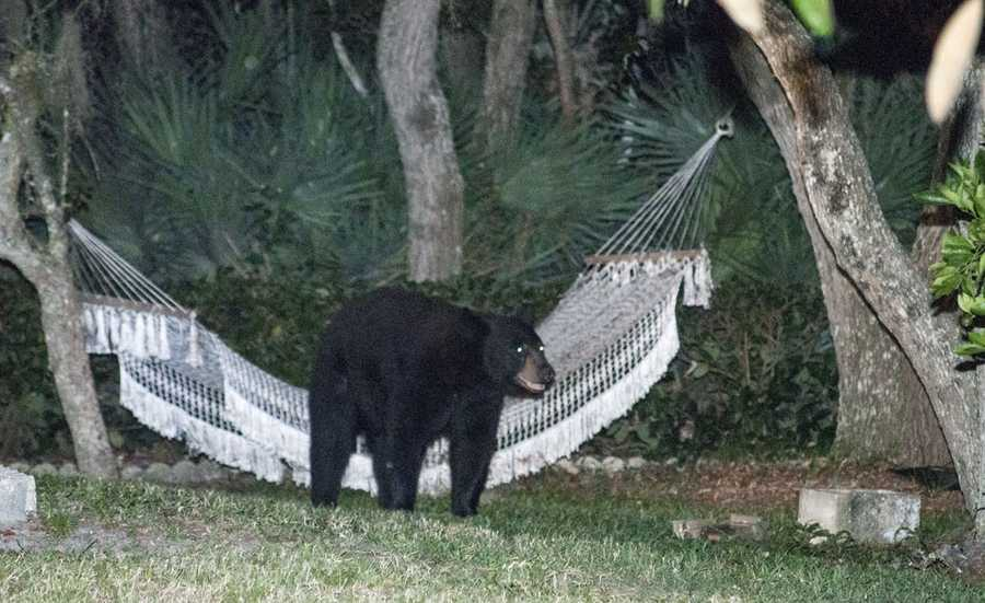 Photographer Rafael Torres said he followed the bear as it climbed into a hammock on Glenbriar Circle and lied down for 20 minutes. Read the story