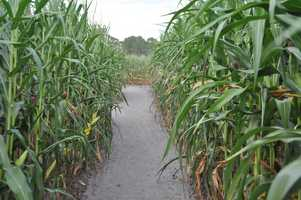 25. Find your way out of the Zellwood Corn MazeDID YOU KNOW? Long & Scotts farm is one of the last cornfields producing delicious Zellwood corn.TIP: During the Fall, the last ticket is sold at 3 p.m. so be sure to arrive before then.