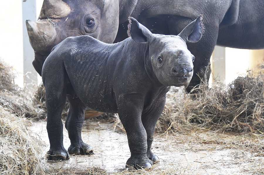 On May 25, this black rhinoceros was born. The rhinos are highly endangered, with just 5,000 left on earth.