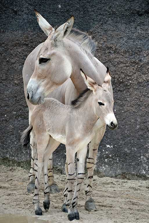 On June 2, this male Somali wild ass was born. Only 1,000 Somali wild asses are believed to exist.