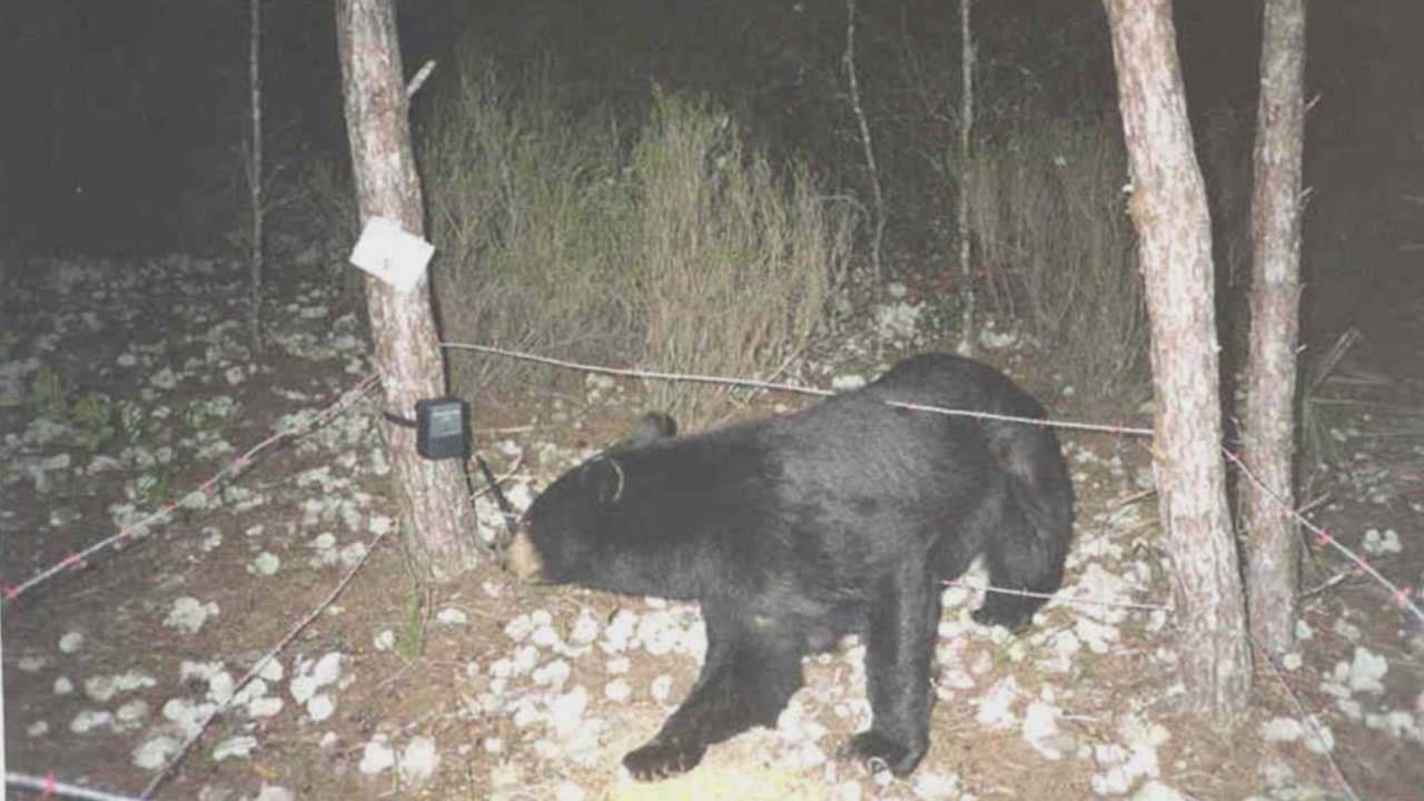 Wildlife officials rely on donuts for statewide bear survey