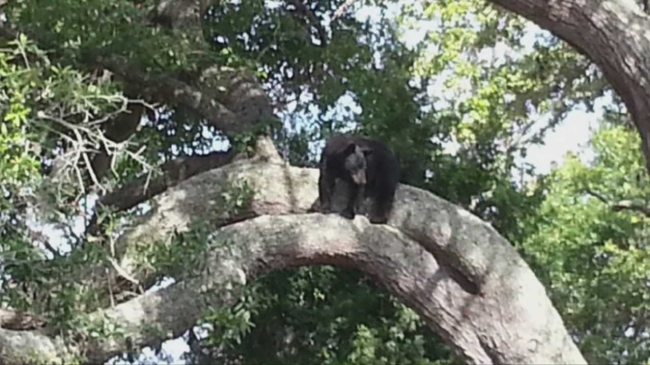 A young Florida black bear is on the run in Holly Hill Friday.