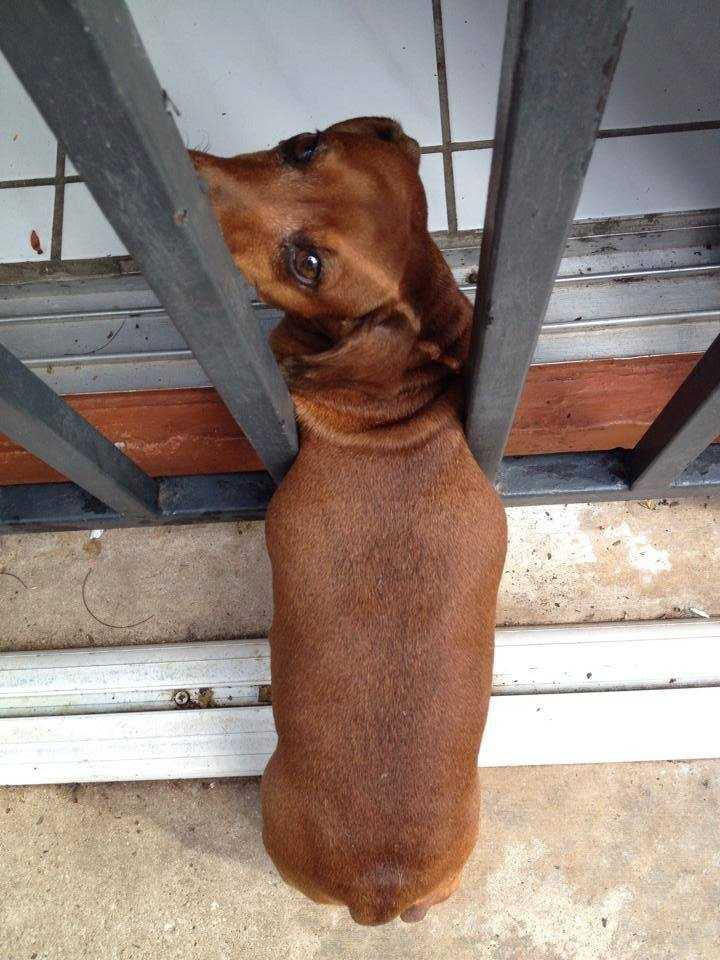 Miami-Dade Fire Rescue came to the rescue of a dachshund who had wedged himself between security bars.