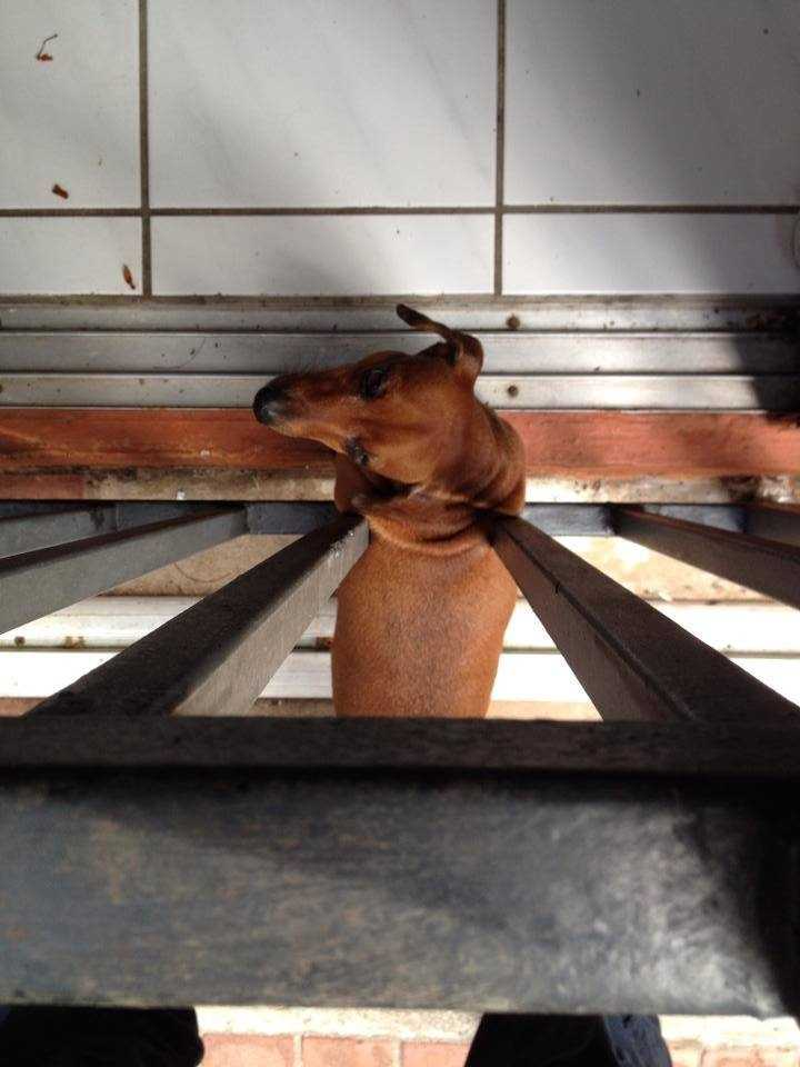 It wasn't known how the dachshund got stuck between the bars.