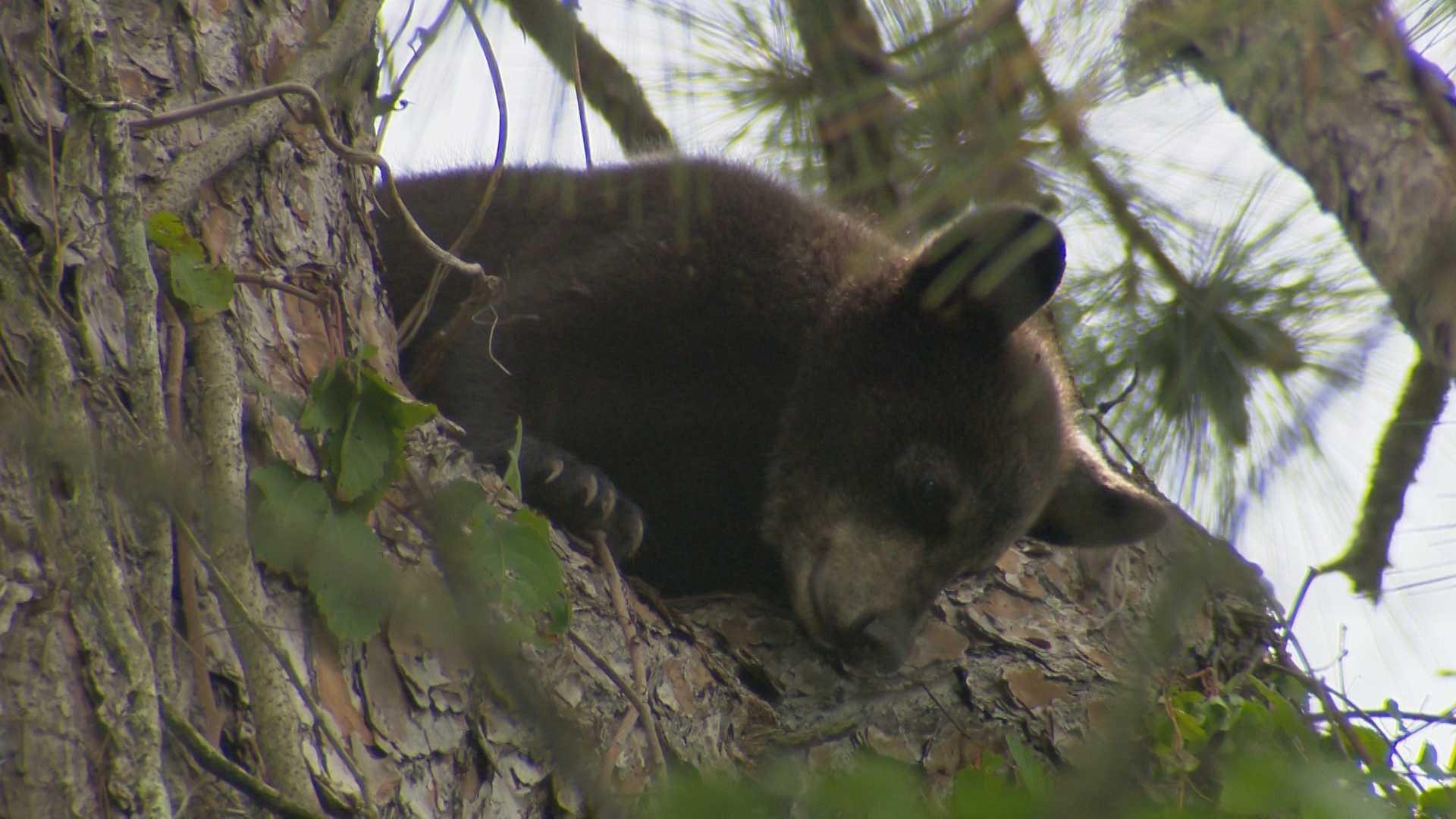 bearcub .jpg