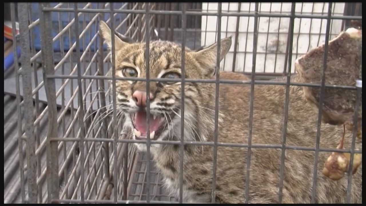 A bobcat was caught by a wildlife trapper in Indian Harbor Beach after the wild animal took a dip in a country club's pool.