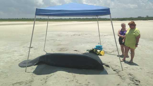 A stranded manatee was helped back into the water off Disappearing Island by more than a dozen people.
