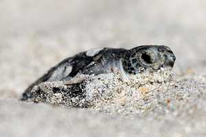 11. The Archie Carr National Wildlife Refugestretches across 20.5 miles between Melbourne Beach and Wabasso Beach along Florida's east coast. It was established in 1991 and was named after the late Dr. Archie Carr Jr. in honor of his contribution to sea turtle conservation.The refuge was designed to protect the loggerhead sea turtle. South Highway A1A, Melbourne Beach, Fla. 32951