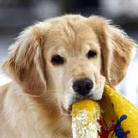 6. Golden Retriever