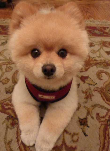 10. Pomeranian